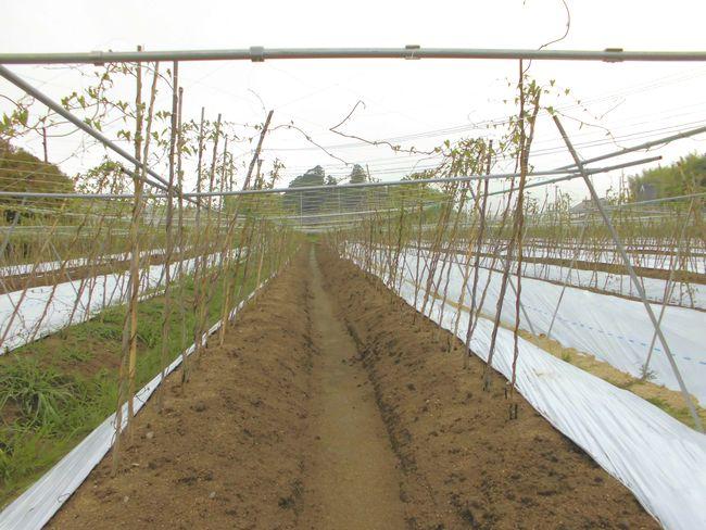 2014年7月4日の自然薯畑2.jpg