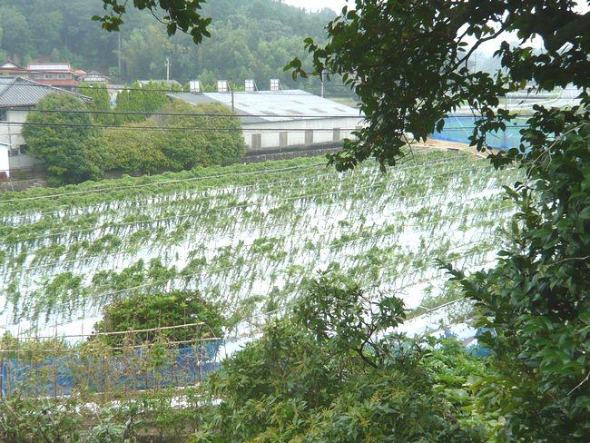 2014年8月14日自然薯畑.jpg