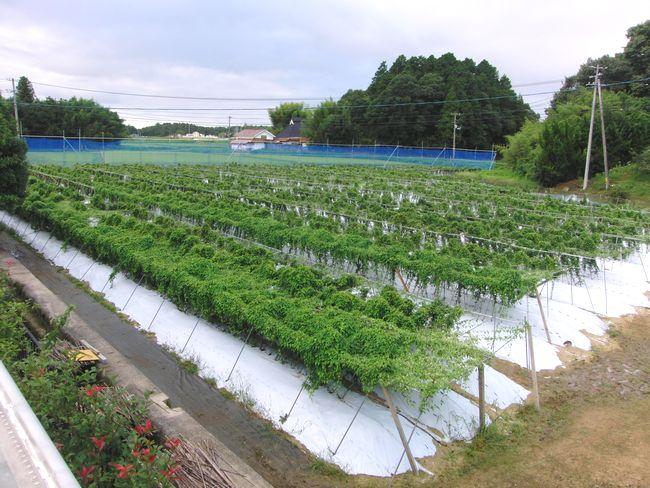 2014年8月27日自然薯畑.jpg