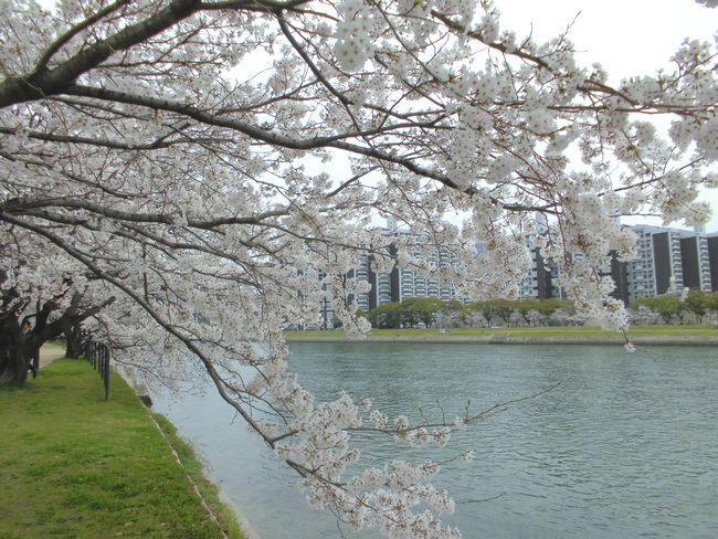 2014広島桜.jpg
