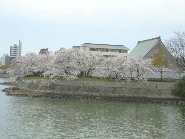 2014広島桜1.jpg