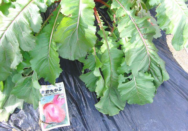 2014畑の野菜1.jpg