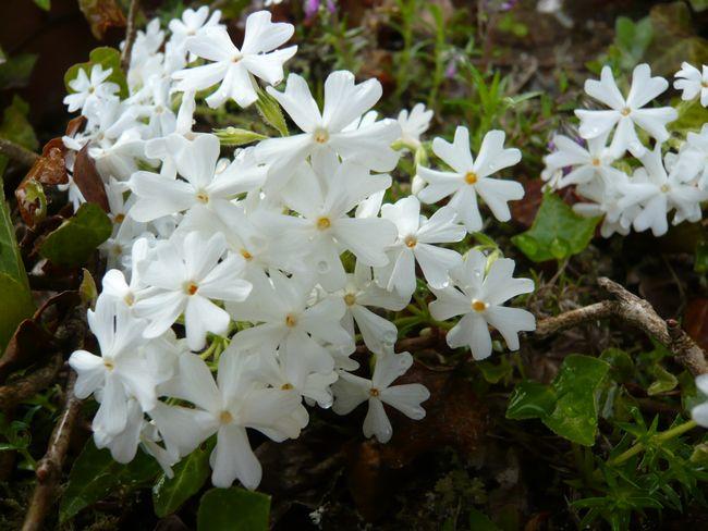 2014白い芝桜.jpg