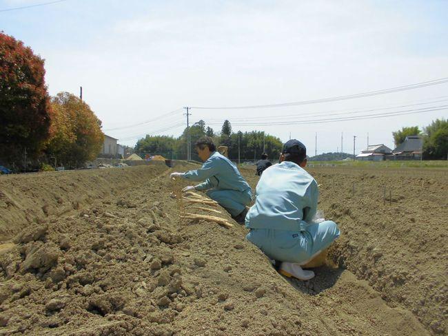 2014自然薯種芋定植.jpg