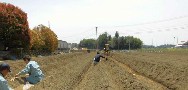 2014自然薯種芋定植1.jpg