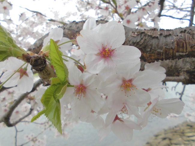 2015年4月広島の桜.jpg
