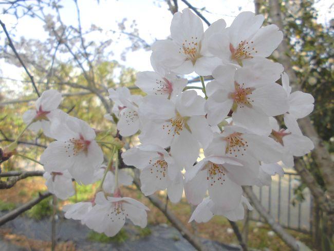 2015年4月8日のわが家桜.jpg