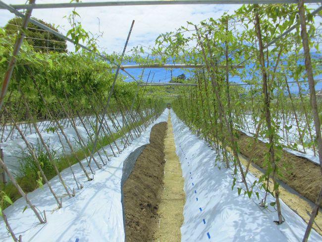 2015年7月18日の自然薯畑.jpg