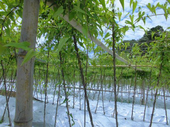 2015年7月18日の自然薯畑1.jpg