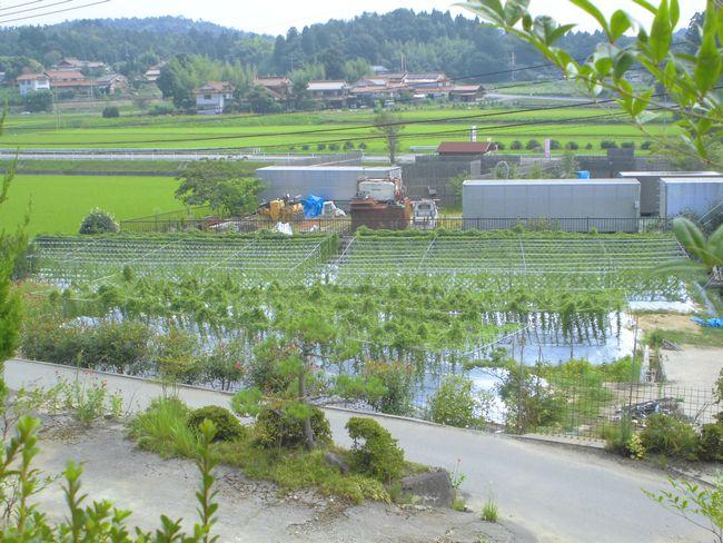 2015年8月16日の自然薯畑.jpg