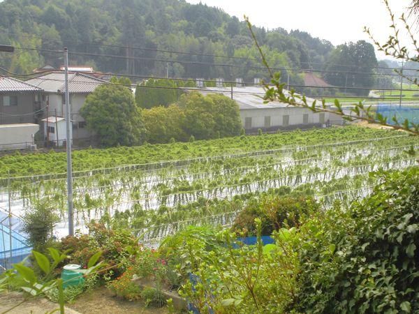 2015年8月16日の自然薯畑1.jpg