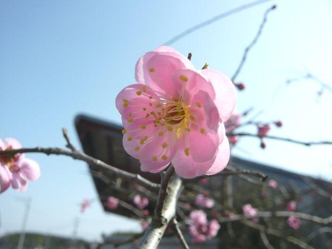 2015梅開花1.jpg