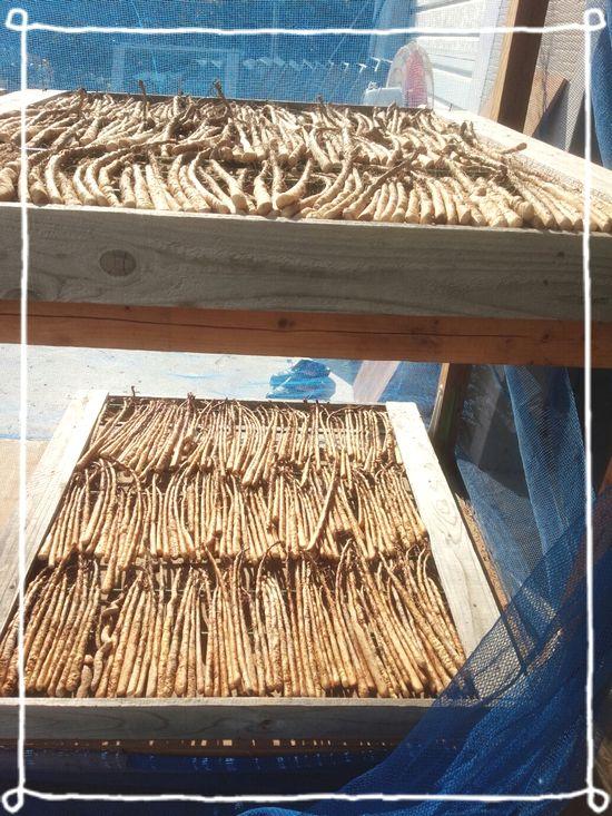 2015種芋干し1.jpg