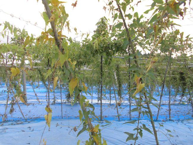 2016年10月11日自然薯畑.jpg
