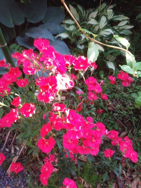 2016庭の花1.jpg