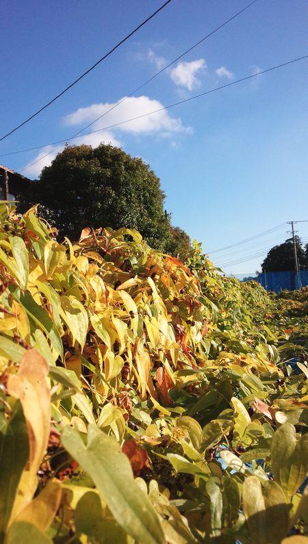 2017秋自然薯畑.jpg