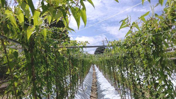 202008自然薯畑