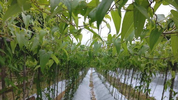 8月の自然薯畑