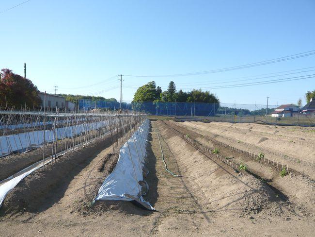 202005月自然薯定植中