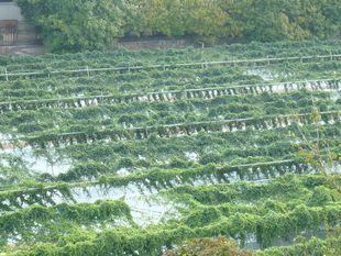 9.23自然薯畑.JPG