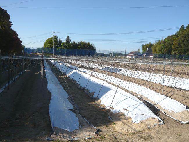 202005月自然薯畑