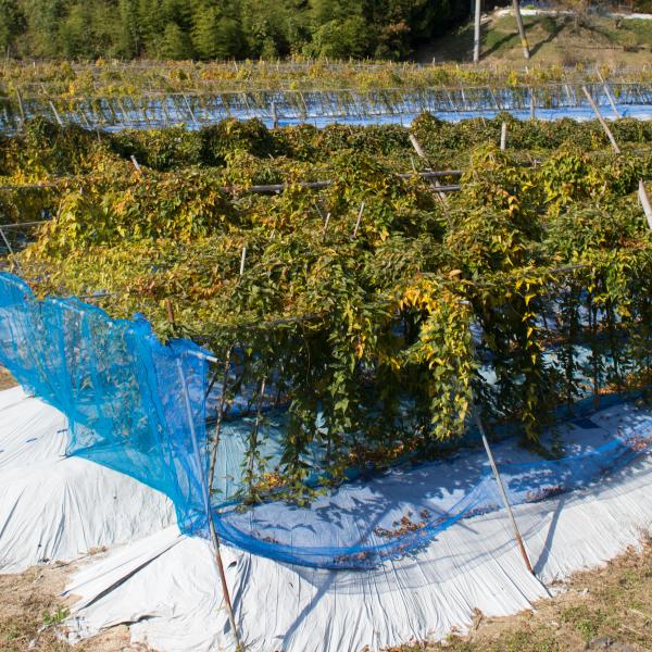自然落下を青いネットで受け止めます。 むかご 1kgの画像4